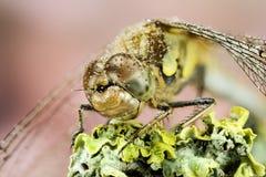 Vagrant Darter, Dragonfly, Sympetrum vulgatum Royalty Free Stock Photography