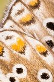 WINGS - Butterflies, Adonis blue, Polyommatus bellargus Stock Image