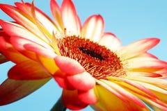Focus on stigma. Still life with hard light Stock Images
