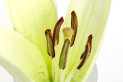 Focus on stigma with surrounded Stamen pollen sacs. The Madonna lily is a large, fragrant, white lily, that grows from a beautiful green bulb Stock Photos