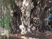 Focus on stoutest trunk of the world of big Montezuma cypress tree at Santa Maria del Tule city in Mexico. At state of Oaxaca, clear blue sky in 2018 warm sunny stock photo