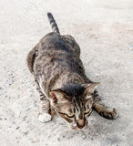 Focus stray cat outdoors watching for move on food. Outdoor shot royalty free stock photo