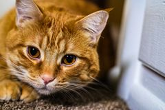 A Cat Focuses on His Prey. A house-cat`s natural instincts go into overdrive as he es on his prey, ready to pounce. An orange tabby cat with big copper eyes sits royalty free stock image