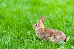 Focus on wild rabbit standing in green grass. Focus on wild rabbit standing in tall green grass Stock Image