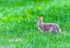 Focus on wild rabbit walking in green grass. Focus on wild rabbit walking in tall green grass Stock Photos