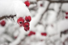 Focus on winter berries Stock Images