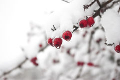 Focus on winter berries Stock Photo