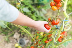Focus on woman hand picking a red ripe tomato Stock Photography