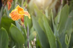 Focus yellow canna flower on garden in morning light. Beauty in nature concept Royalty Free Stock Images
