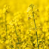 Focus on colza field on a sunny day. close up stock photo