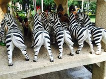 Focus Zebra Stock Image