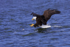 A focused bald eagle attcks its prey. A spread winged bald eagle attacks a fish swimming in the open water stock images