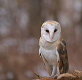 Focused Barn Owl Royalty Free Stock Photos
