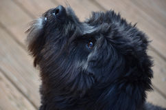 Focused black dog. Well trained dog is focused Royalty Free Stock Photos