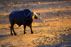 Focused buffalo bull Stock Images