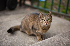 Focused cat. Focused brown cat with green eyes looking straight in the camera Stock Photography