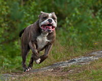 Focused dog running Royalty Free Stock Photos