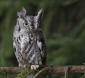 Focused Eastern Screech Owl. An Eastern Screech Owl (Megascops asio) sitting on branch Stock Photos