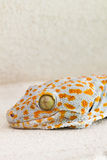 Focused eye and head gecko or gecko verticillatus, orange and gr Stock Photography