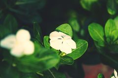 Focused flower. Beautifully focused white flower with leaves royalty free stock image