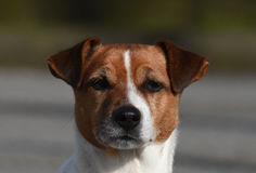 Focused Foxterrier dog Royalty Free Stock Images