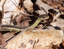Focused Garter Snake Stock Photography
