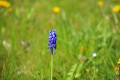 Focused isolated Muscari armeniacum on defocused garden grass  Stock Photography