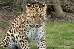 Focused Leopard. This beautiful Amur Leopard was photographed at the Wildlife Heritage Foundation in the UK Stock Images