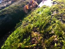 Focused macro photo of green moss Royalty Free Stock Photos