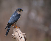 Focused Merlin. A profile shot of a Merlin & x28;Falco columbarius& x29; sitting on a branch Royalty Free Stock Images