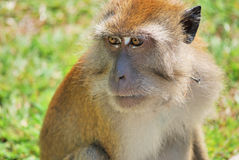 Focused monkey. A monkey very focused looking at something.This image was taken at penang botanical garden Royalty Free Stock Photos