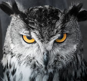 Focused owl Royalty Free Stock Photos