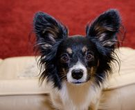 Focused Papillon. Male papillon in front of a red carpet Royalty Free Stock Photography