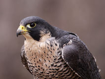 Focused Peregrine Falcon Royalty Free Stock Images
