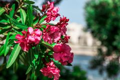 Rose flowers in focus with green leaves. Focused rose flowers and greenery overlooking the ocean and the docks Royalty Free Stock Photo