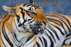 Focused tiger Royalty Free Stock Photo