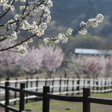 Focused trees flowering with a blurred background. White flowering trees with a blurred background of fencing and pink trees Royalty Free Stock Photo