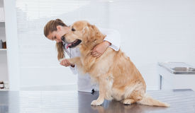 Focused vet examining a labrador Stock Images