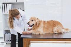 Focused vet examining a labrador Stock Photos