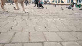 Focused view of dog running on ground with unfocused view of doves flying on background. Slow motion of flying birds stock video
