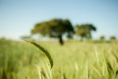 Focused Wheat Royalty Free Stock Photos