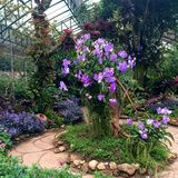 Focusing on a big tree with purple orchid in the green house garden Royalty Free Stock Photos