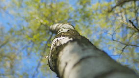 Focusing at birch tree against the blue sky at forest. stock video