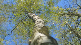 Focusing at birch tree against the blue sky at forest. stock video footage