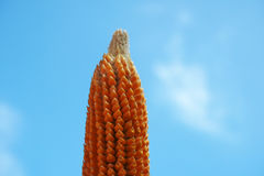 Focusing dried young corn on bright blue sky background. Focusing hand holding dried young corn on bright blue sky background Royalty Free Stock Photos