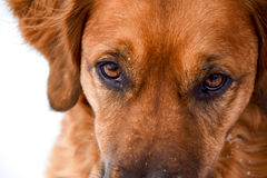 Focussed Gaze of a dog named Sophie. Close up of the face of a red golden retriever gazing intently. Head is cropped just above the nose and near top of the head Stock Photos
