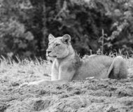 Focussed Lion in black & white stock photo