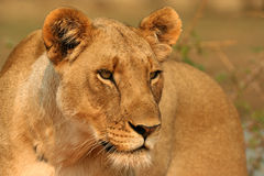 Focussed Lioness Royalty Free Stock Images