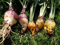 Fodder beet and Rutabaga - crop harvest Royalty Free Stock Photography