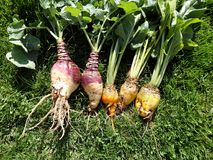 Fodder beet and Rutabaga - crop harvest Royalty Free Stock Photo